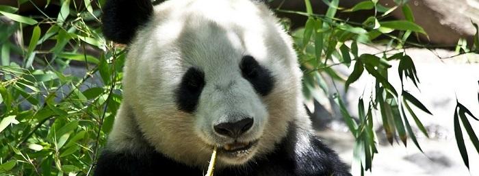 panda-update-4.2-2